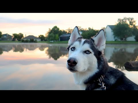 Watching The Sunrise With My Siberian Husky!
