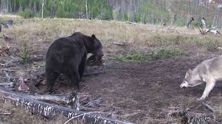 'Bears In The Modern World' - Wolves and Bear Encounter