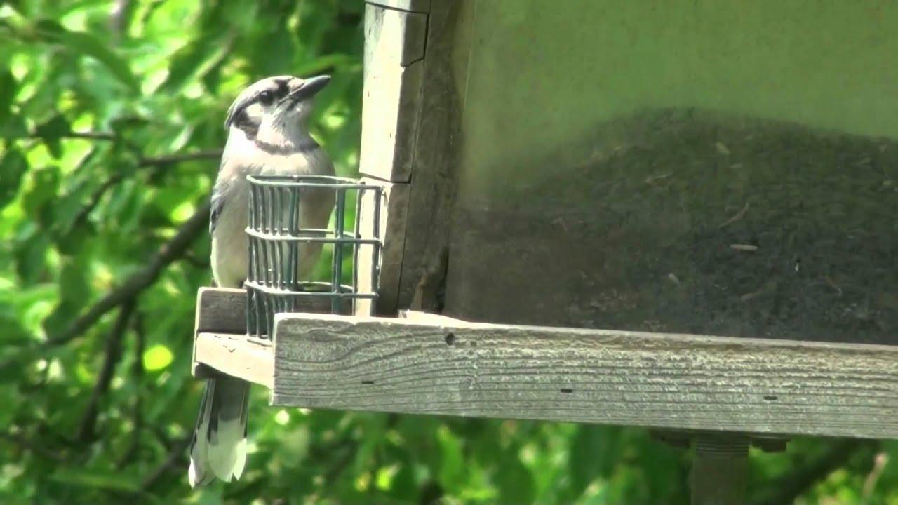 Backyard Birds of Michigan - YouTube