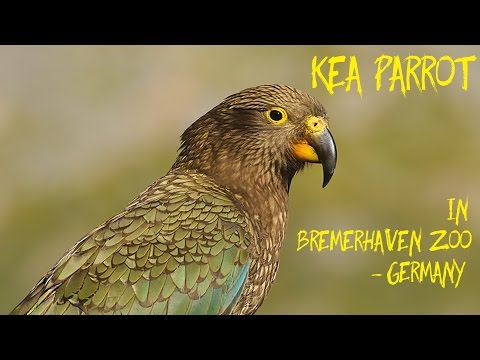 Kea Parrot In Bremerhaven Zoo - Germany