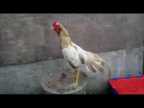 asil chicken new album