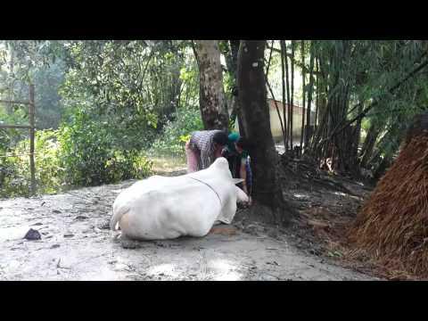 cow jobai 2   Music Jinni