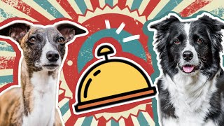 Ring The Bell Get The Treat | Border collie vs. Whippet