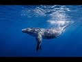 The Biggest Animal in The World | The Blue Whale | Blue Whales Documentary | Australia