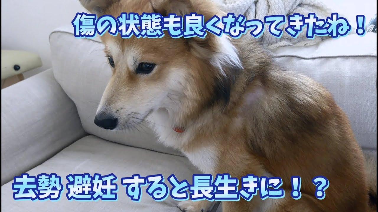 [保護犬だん君]去勢の傷もだいぶ落ち着いてきたね!去勢や避妊をすると犬の寿命も長くなる!?愛犬が長生きする方法!