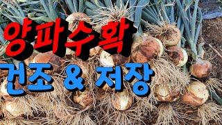 햇 양파수확시기(onion harvest)양파수확후  …