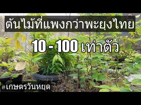 ไม้เศรษฐกิจที่แพงกว่าพะยุงไทย 10-100 เท่าตัว ไม้ที่แพงที่สุดในโลก