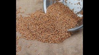 Старинный способ проращивания зерна для кур несушек.