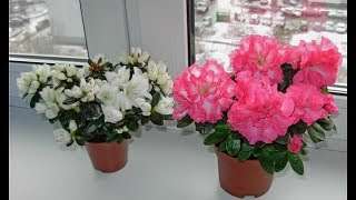 видео Самые неприхотливые комнатные растения