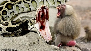 ビービーズ対パイソン|ヒヒはヒョウとハイエナからインパラを救う|ヒヒ...