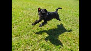 No leads required.....Affenpinscher Puppy FUN
