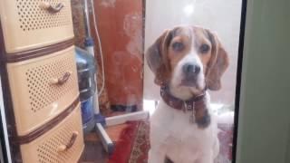 �������� ���� Пес, взломщик дверей ������