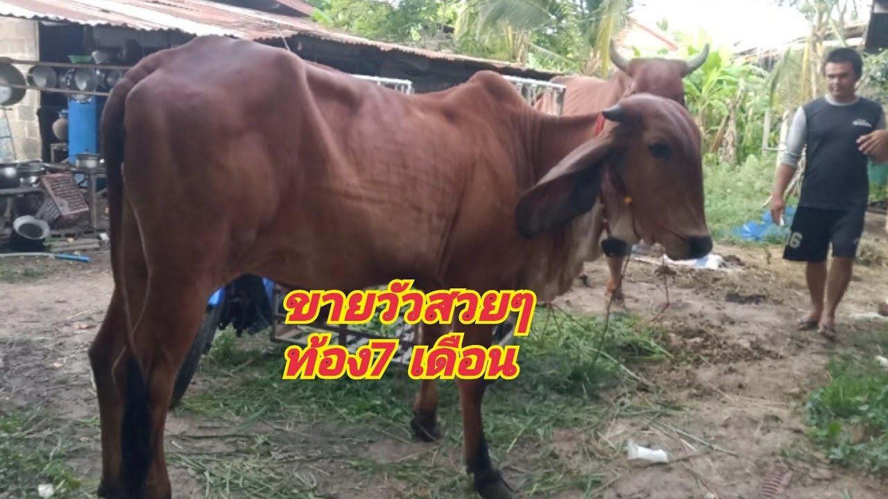 ขายวัวสวยๆ หนังหนา แข้งขาใหญ่ราคาจับต้องได้#คอกวัวพ่อขาว☎️099-2713452