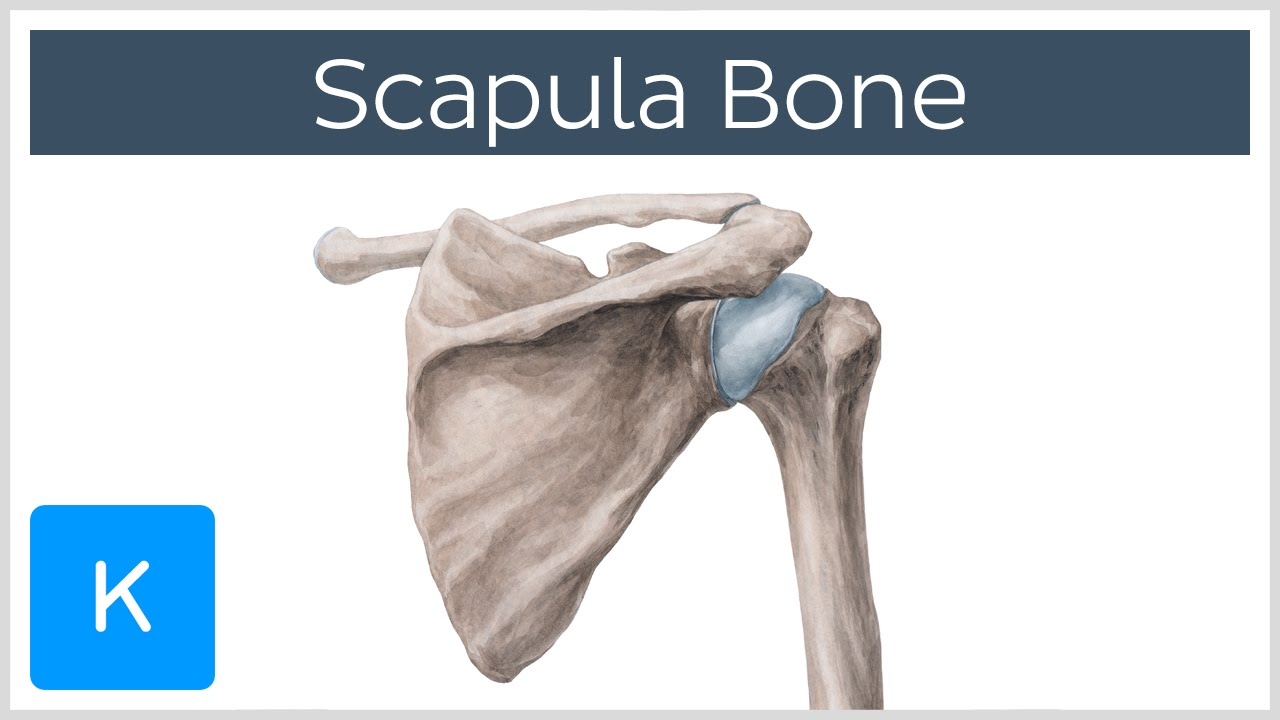 Scapula Anatomy Definition And Function Human Anatomy Kenhub
