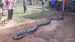 体長8メートルの巨大人食いニシキヘビ捕獲 インドネシア南スマトラ州中部の村 thumbnail