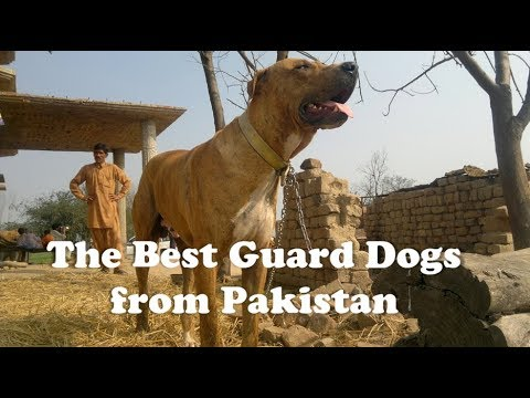 The 5 Best Guard Dogs from Pakistan