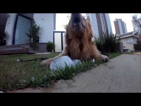 Bruce comendo gelo - GoPro Hero4  Session - Golden Retriever Dog eating ice