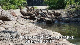 УТКИ В ПРИМОРСКОМ САФАРИ-ПАРКЕ 25 ИЮЛЯ 2018 Г.