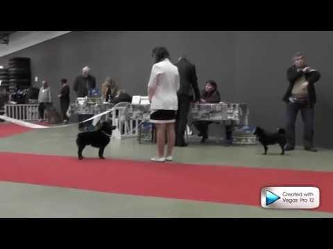 Le Schipperke au Paris Dog Show 2014
