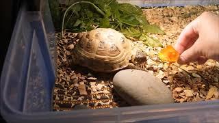 Уход за сухопутной черепахой. День с Пышкой.