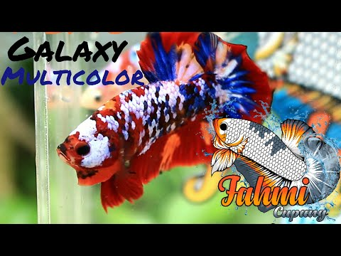 Ikan Cupang Hias Koi Nemo Galaxy Multicolor Youtube