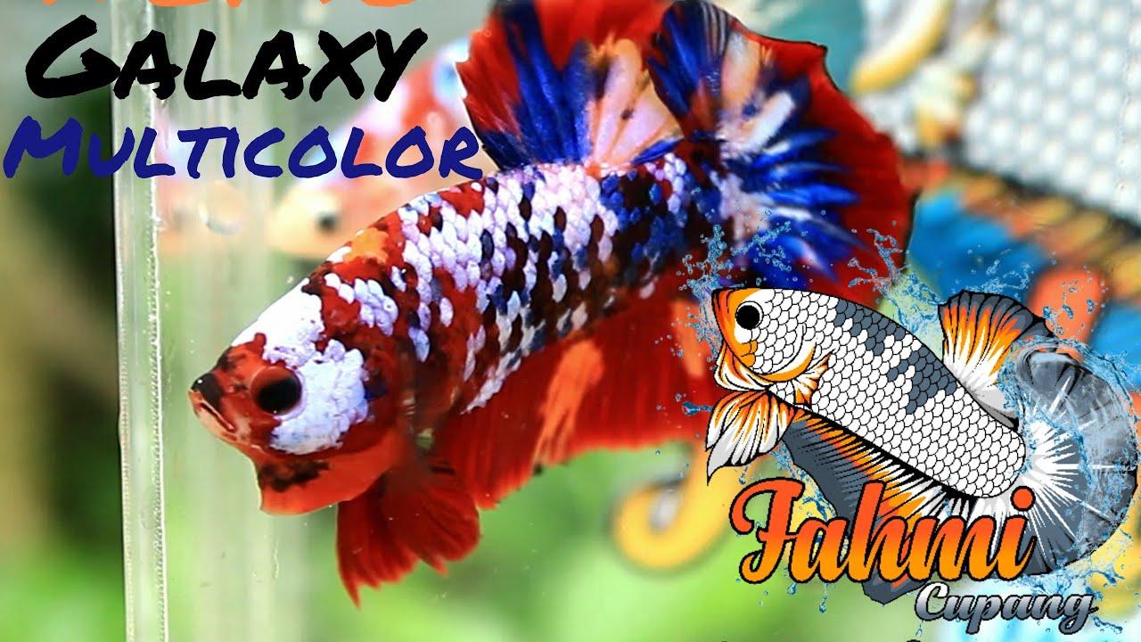 Ikan Cupang Hias Koi Nemo Galaxy Multicolor Youtube