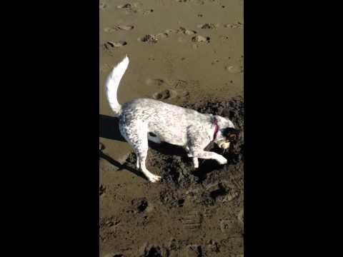 The Incredible Digging Cattle Dog