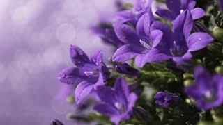 Цветы колокольчики (Campanula). Колокольчики виды