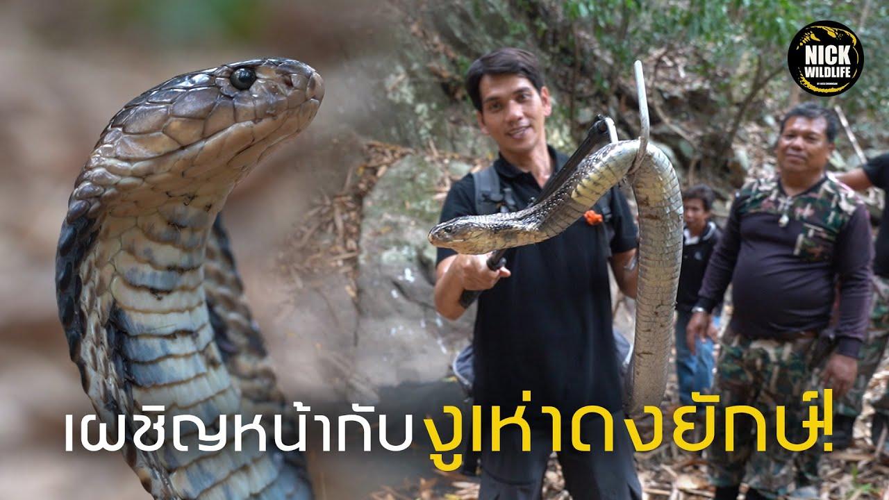 อสรพิษวิทยา EP.19 เผชิญหน้ากับ งูเห่าดงยักษ์