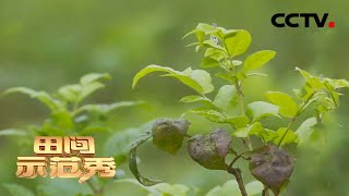 《田间示范秀》 20210106 土家藤茶焕新生|CCTV农业 - YouTube