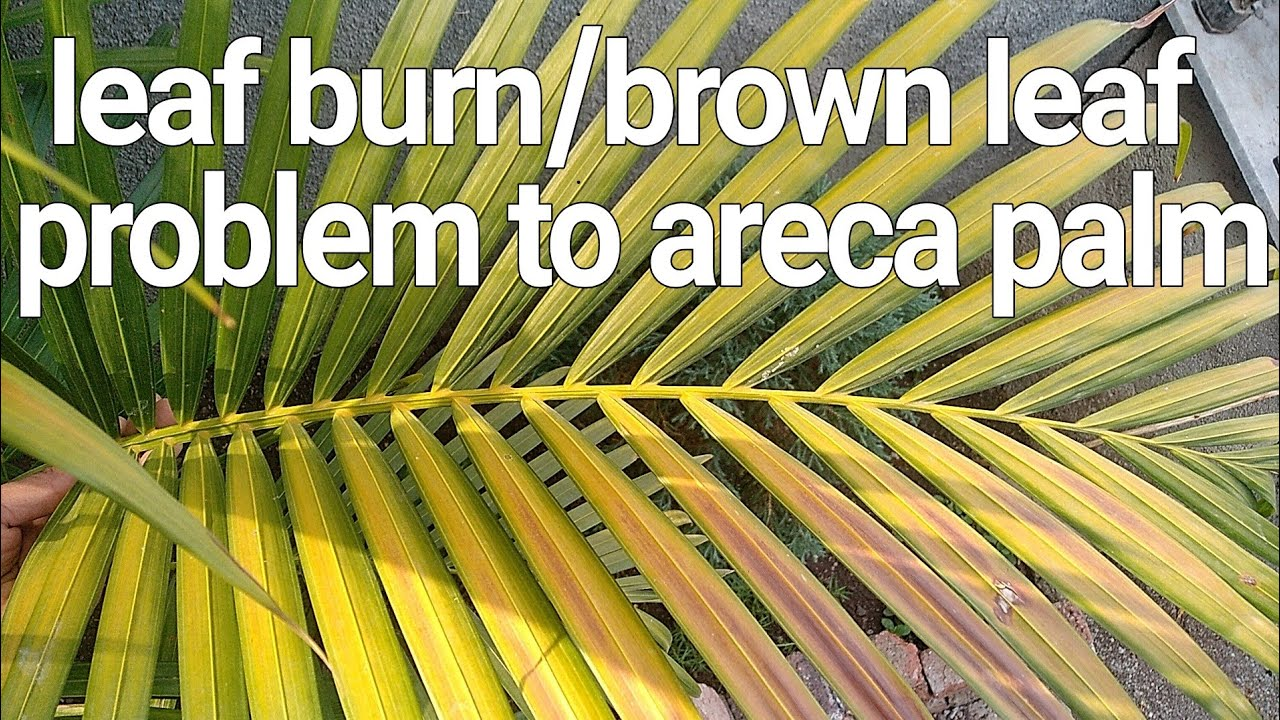 Leaf Burn Brown Leaf Problem To Areca Palm And Solutions Youtube