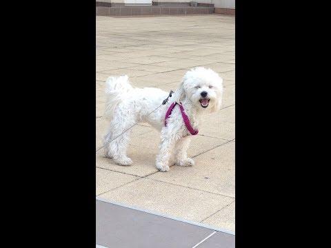 Maltese Puppies Pictures