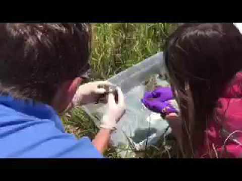 On The Brink Of Extinction, Hundreds Of Wyoming Toads Set Free In Laramie Basin