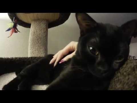 Bombay Kitten Moki DITLO