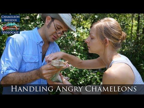 Handling Angry Chameleons