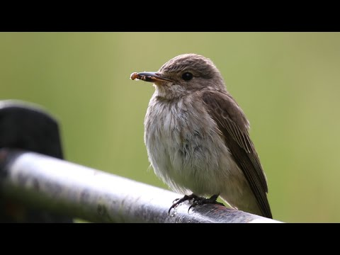Nesting Spotted Flycatchers | British Birding