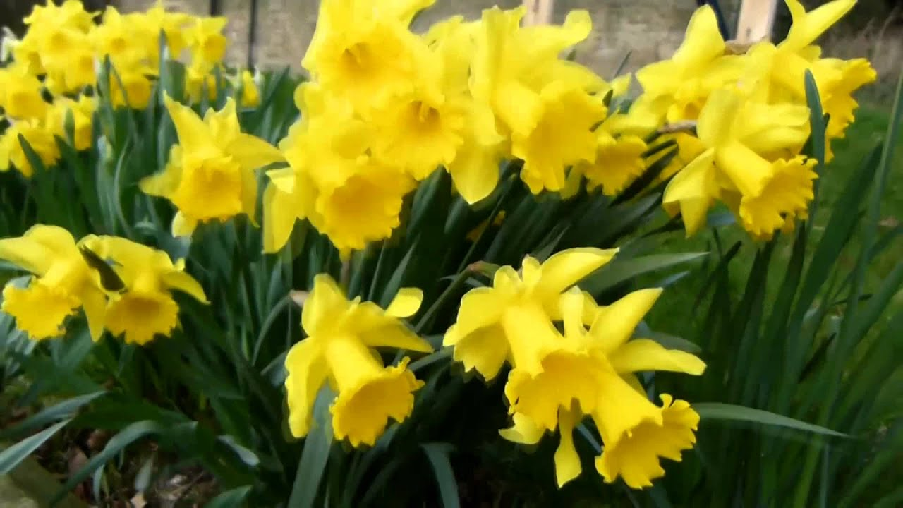 More Interesting Than Food Narcissus >> Narcissus Spp Daffodil The Poison Garden Website