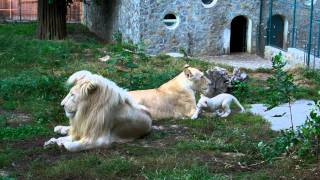 2011. 09. 14. Beli lavovi Vambo, Sumba i mala Nadja - ZR - Beo Zoo Vrt