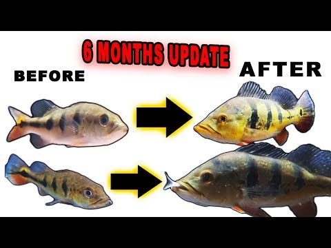 6MONTHS GROWTH UPDATE ON PEACOCK BASS, TARPON, BULLHEAD,LARGEMOUTH, MONSTER FISH!