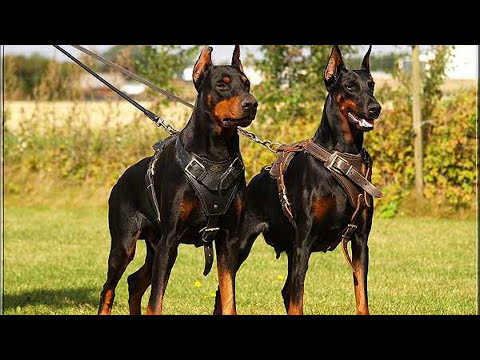P de perros Doberman Mascota o Asesino
