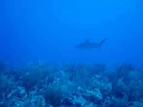 Tiger Shark - Antigua Diving