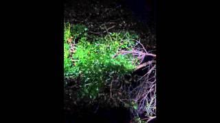 Frogs Chorusing Myakka David Barkasy