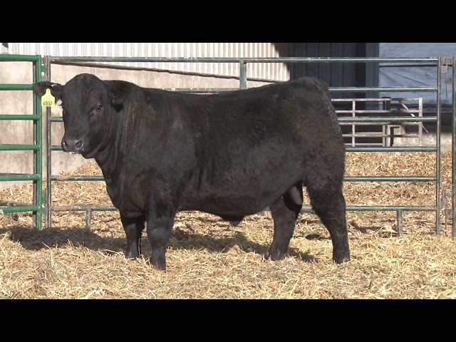 Schiefelbein Angus Farms Lot 193
