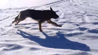 German Shepherd Max Quebec Canada