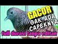 Perkutut Lokal Gacor Dor Manggung Nya Panjang Cocok Untuk Memikat  Mp3 - Mp4 Download
