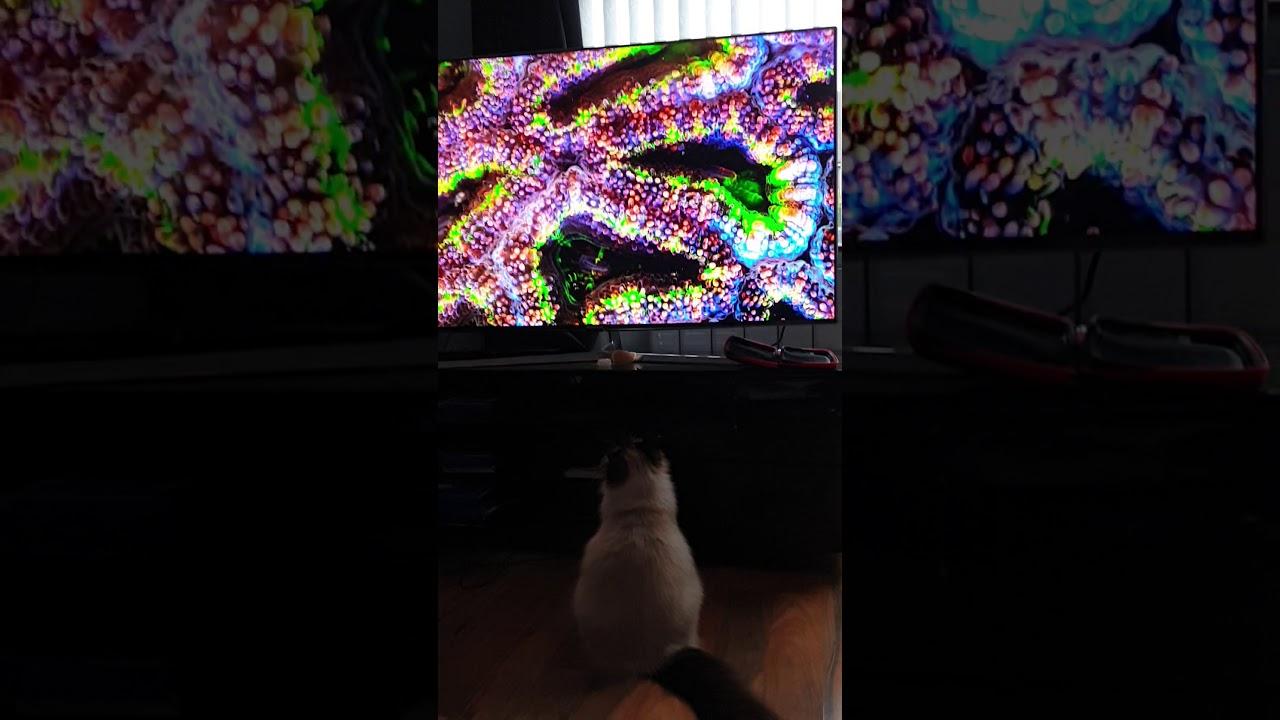 Ragdoll is watching TV