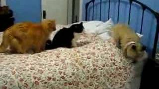 Cats Force Cairn Terrier Puppy Off Of Bed