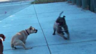 Presa Canario Playing with Two Pitbulls