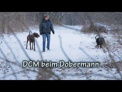 DCM beim Dobermann Full HD poster