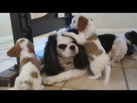 Cavalier Puppies @ 6 Weeks